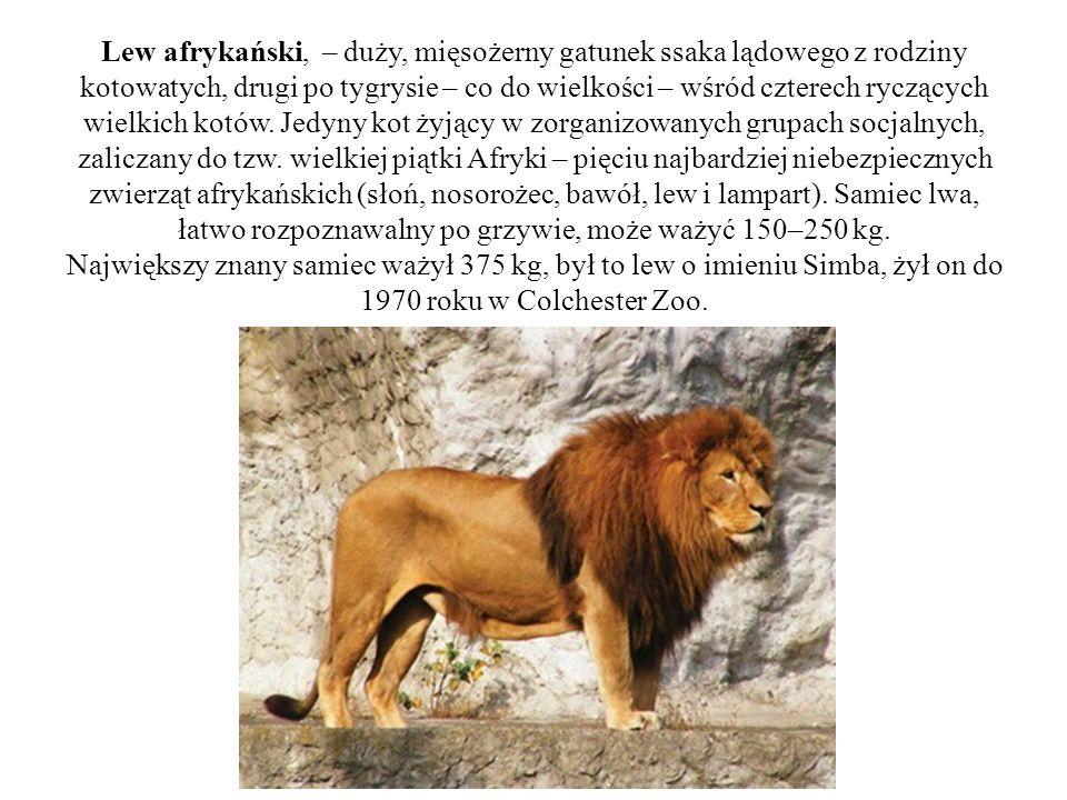 Lew afrykański, – duży, mięsożerny gatunek ssaka lądowego z rodziny kotowatych, drugi po tygrysie – co do wielkości – wśród czterech ryczących wielkich kotów.
