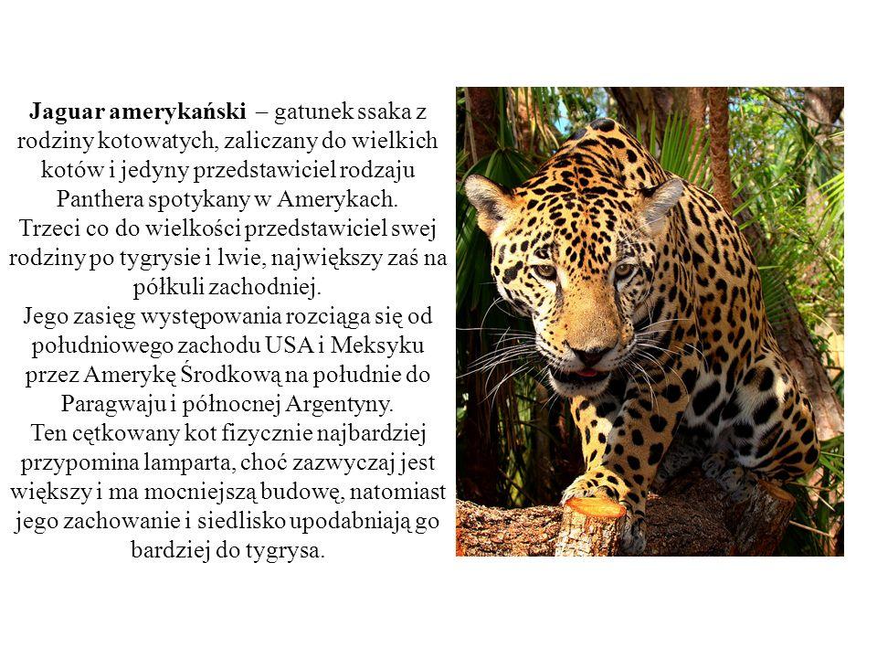 Jaguar amerykański – gatunek ssaka z rodziny kotowatych, zaliczany do wielkich kotów i jedyny przedstawiciel rodzaju Panthera spotykany w Amerykach.
