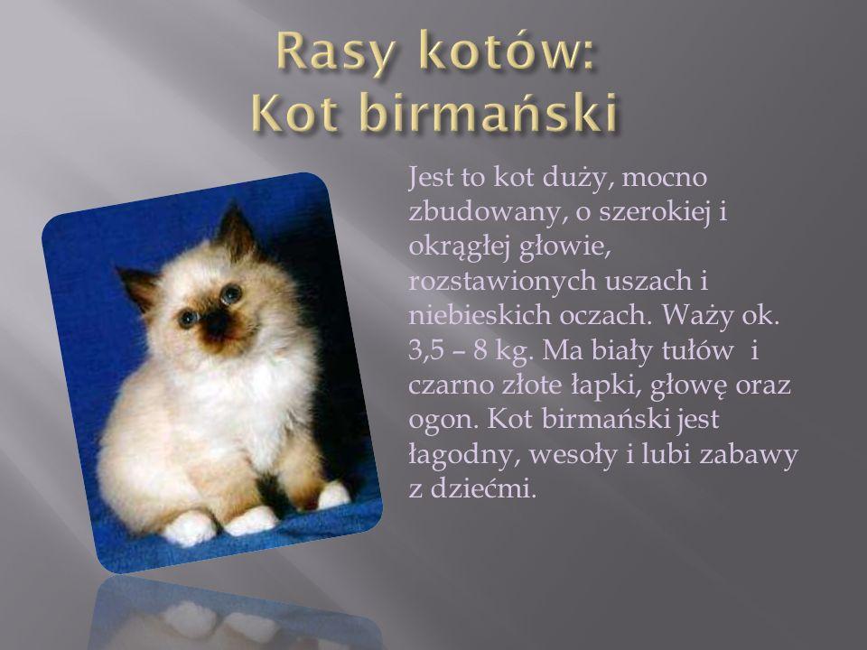 Rasy kotów: Kot birmański