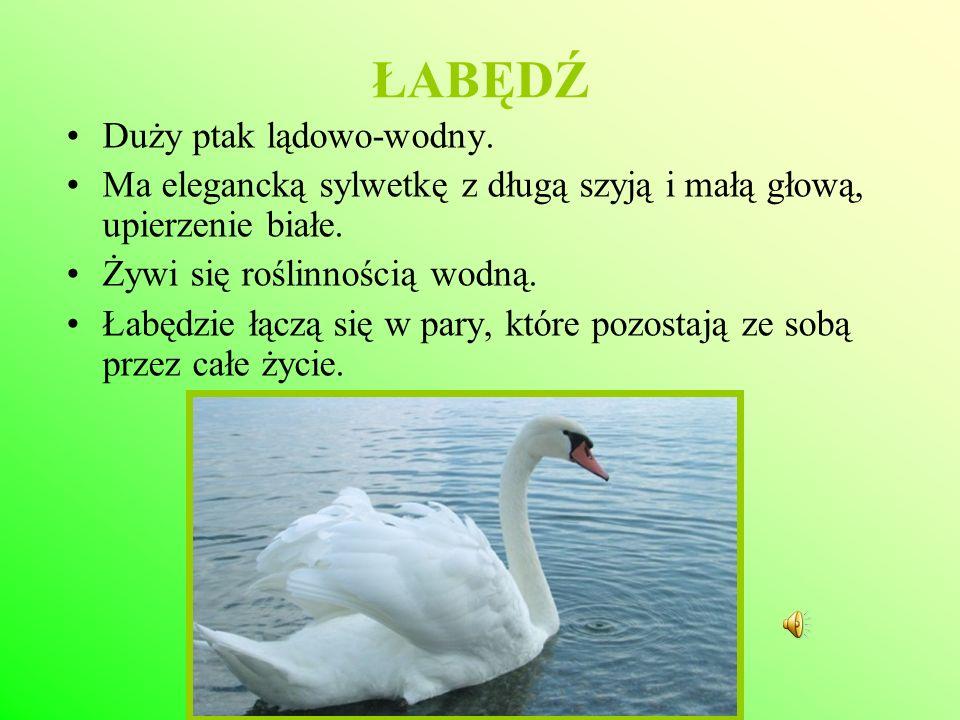 ŁABĘDŹ Duży ptak lądowo-wodny.