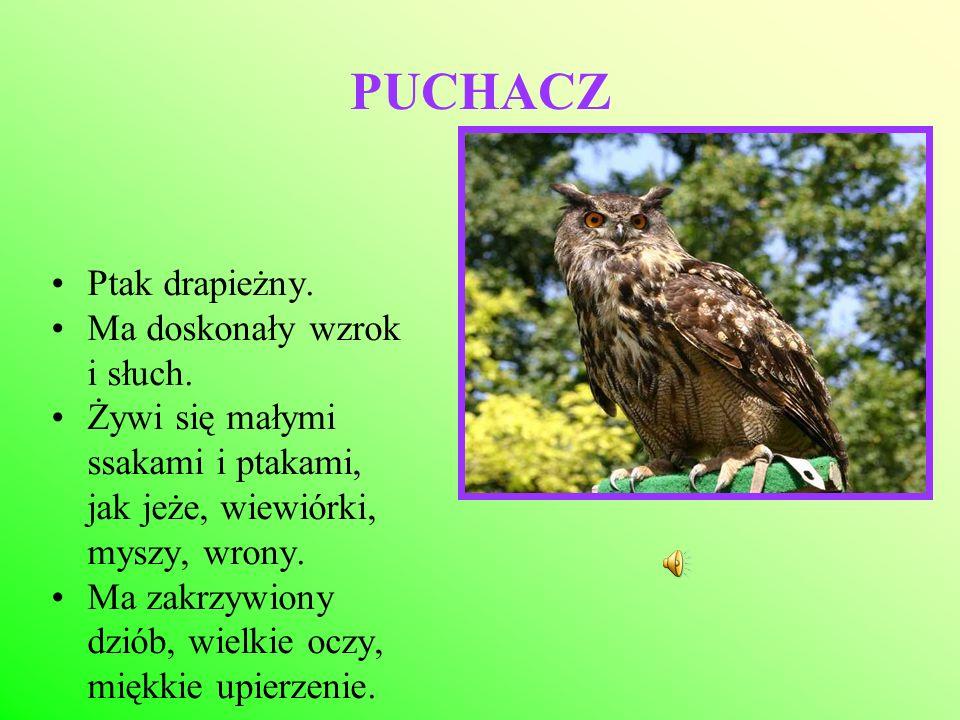 PUCHACZ Ptak drapieżny. Ma doskonały wzrok i słuch.