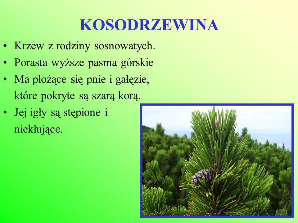 KOSODRZEWINA Krzew z rodziny sosnowatych. Porasta wyższe pasma górskie