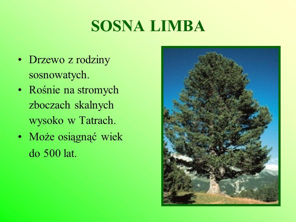 SOSNA LIMBA Drzewo z rodziny sosnowatych. Rośnie na stromych