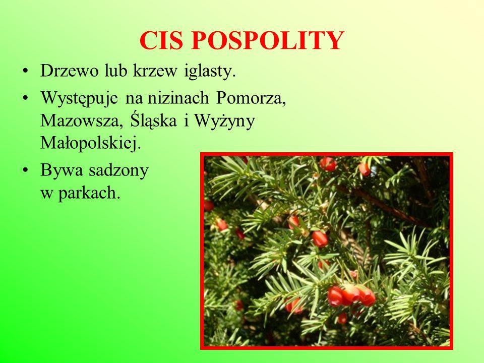 CIS POSPOLITY Drzewo lub krzew iglasty.