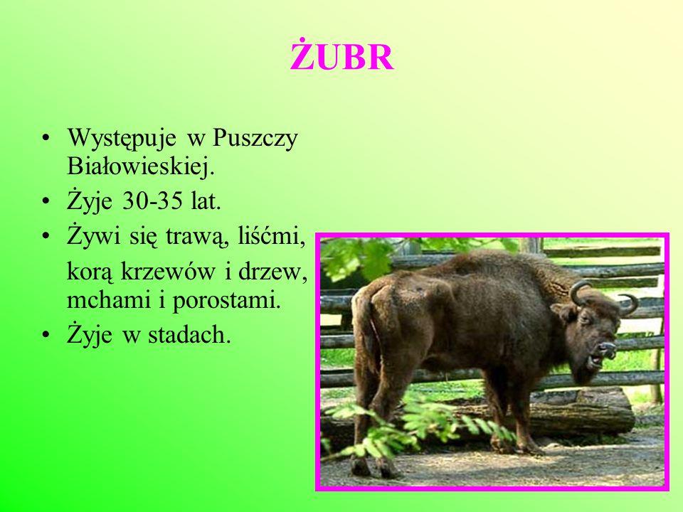 ŻUBR Występuje w Puszczy Białowieskiej. Żyje 30-35 lat.