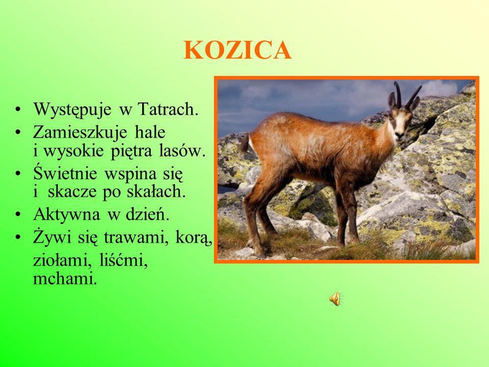 KOZICA Występuje w Tatrach. Zamieszkuje hale i wysokie piętra lasów.