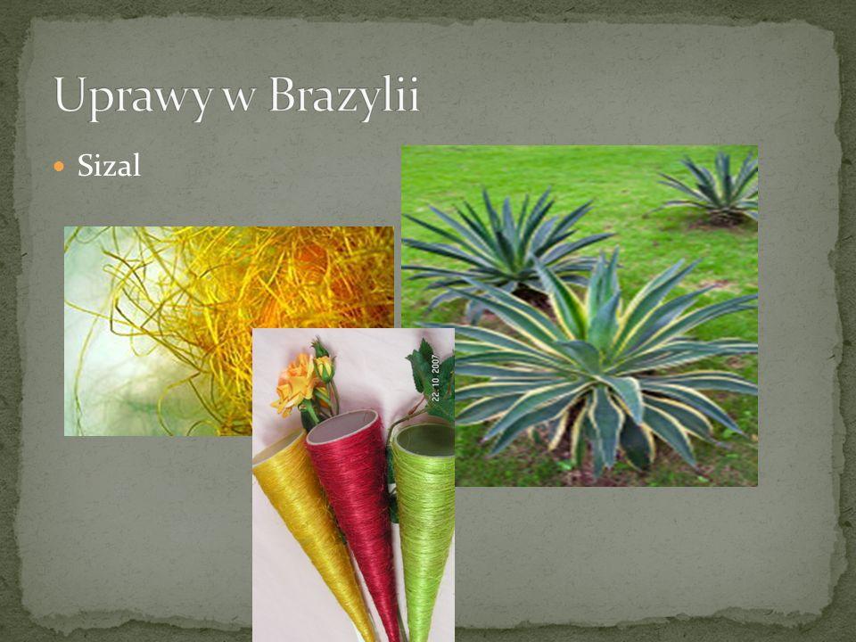 Uprawy w Brazylii Sizal