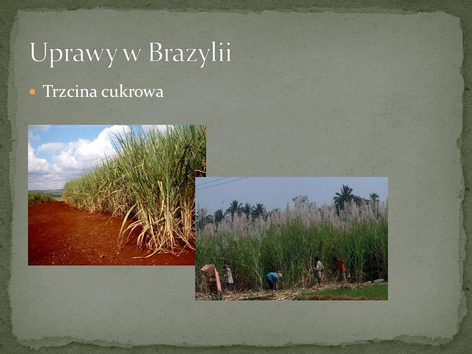Uprawy w Brazylii Trzcina cukrowa