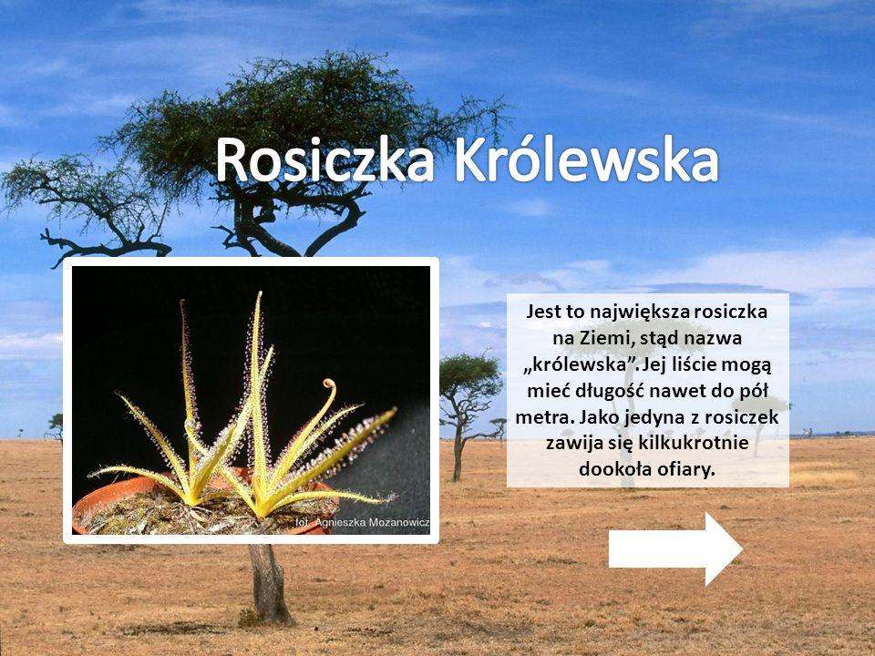 Rosiczka Królewska