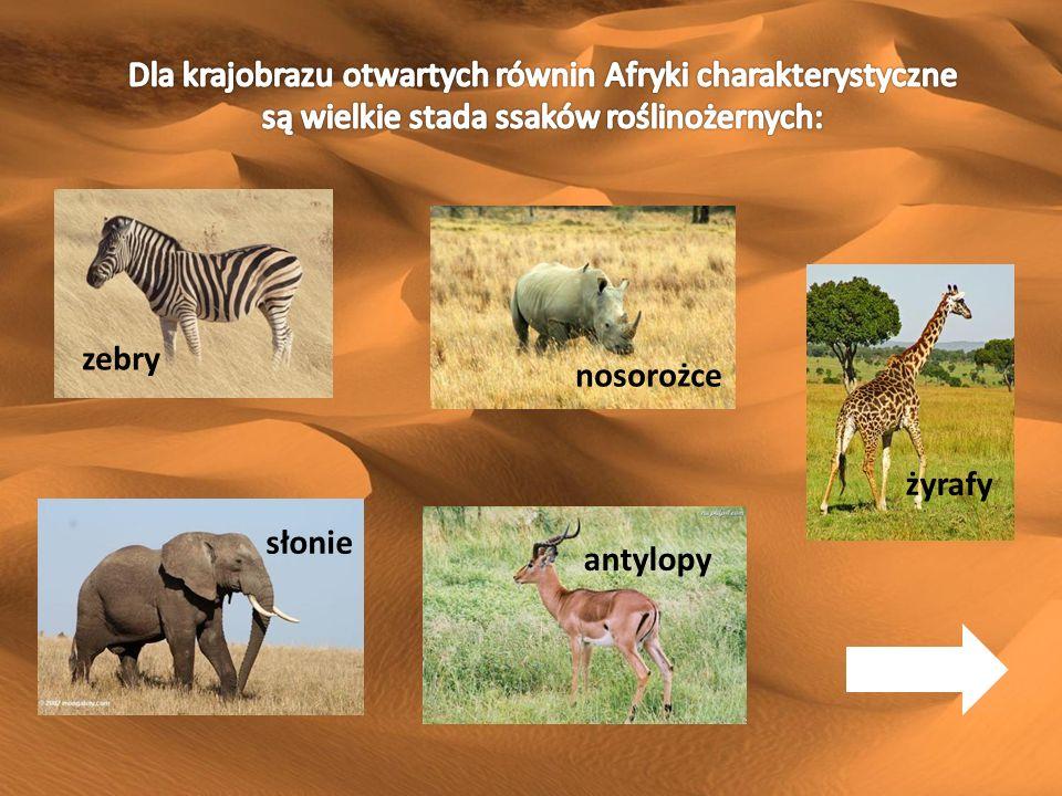 Dla krajobrazu otwartych równin Afryki charakterystyczne są wielkie stada ssaków roślinożernych: