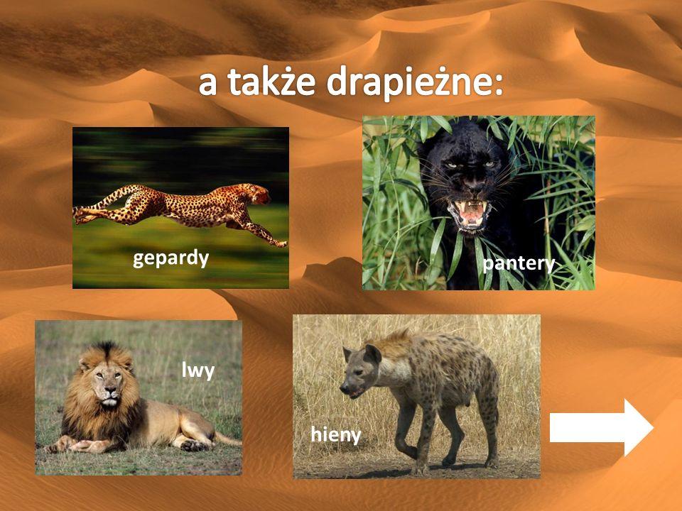 a także drapieżne: gepardy a także drapieżne: pantery lwy hieny