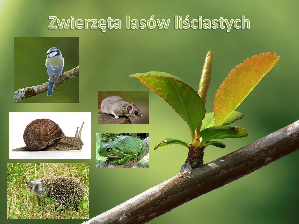 Zwierzęta lasów liściastych