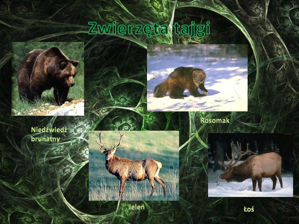 Zwierzęta tajgi Rosomak Niedźwiedź brunatny Jeleń Łoś