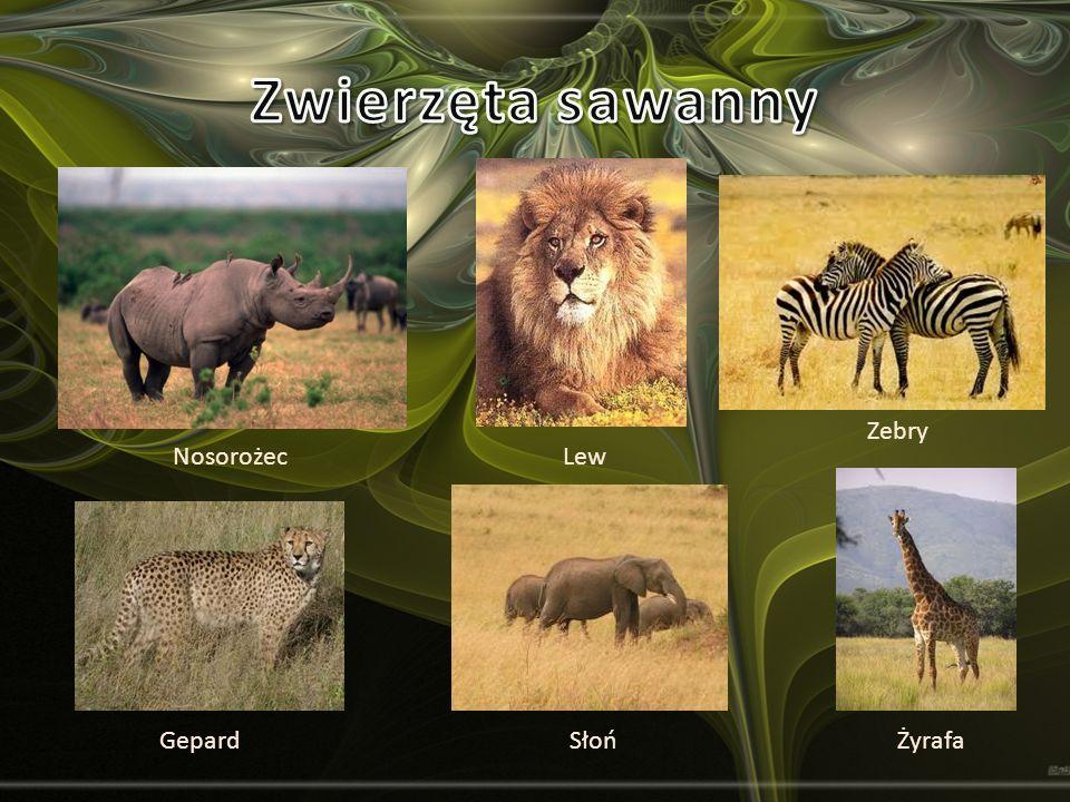 Zwierzęta sawanny Zebry Nosorożec Lew Gepard Słoń Żyrafa