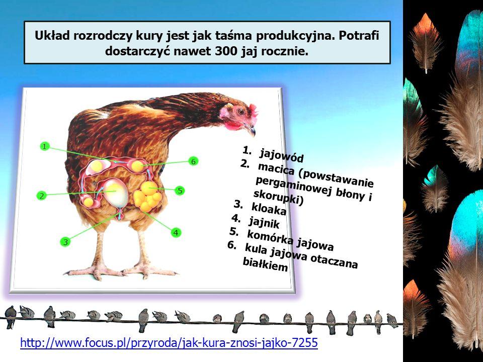 Układ rozrodczy kury jest jak taśma produkcyjna. Potrafi dostarczyć nawet 300 jaj rocznie. jajowód.