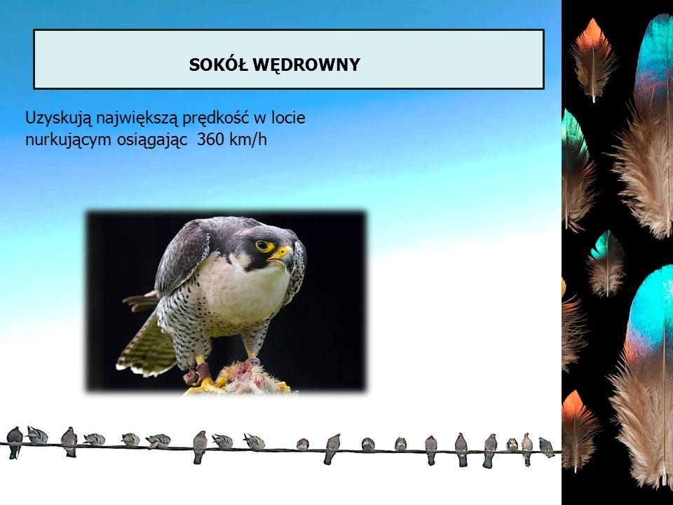 sokół wędrowny Uzyskują największą prędkość w locie nurkującym osiągając 360 km/h