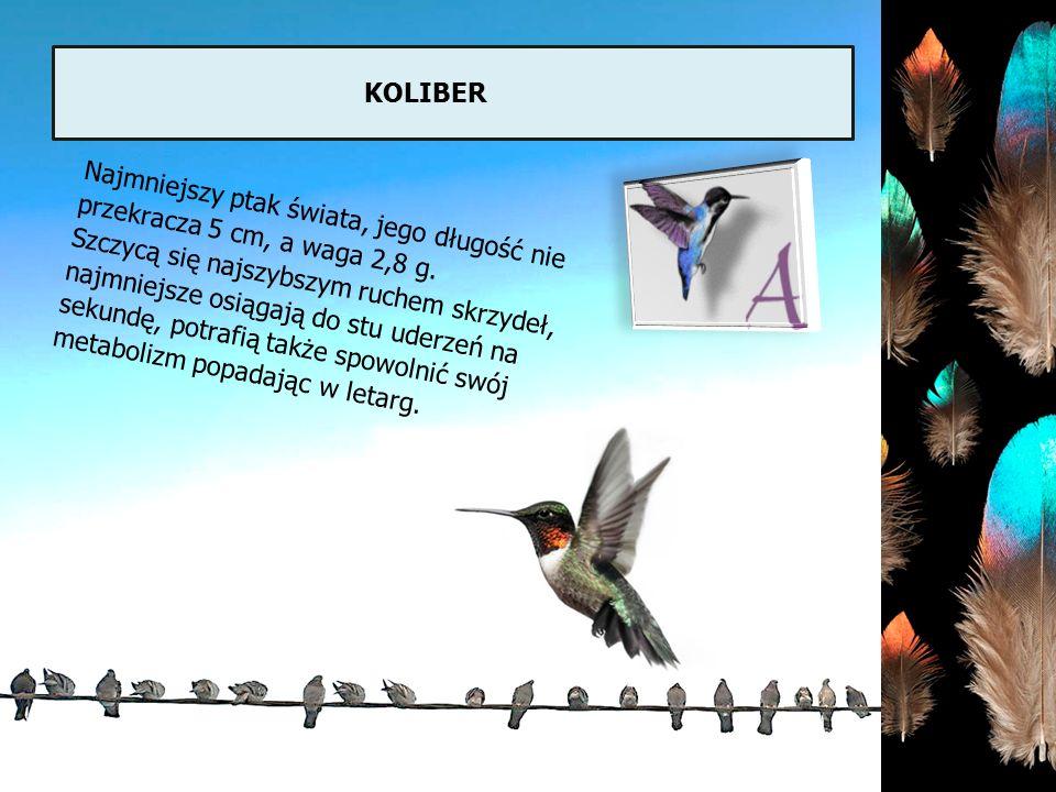 koliber Najmniejszy ptak świata, jego długość nie przekracza 5 cm, a waga 2,8 g.