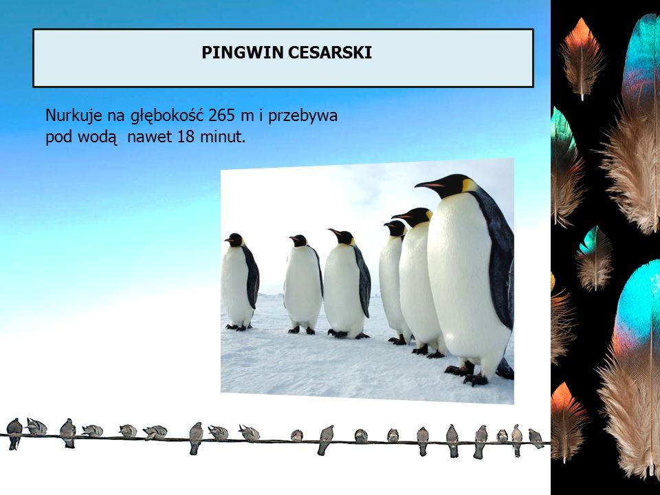 pingwin cesarski Nurkuje na głębokość 265 m i przebywa pod wodą nawet 18 minut.