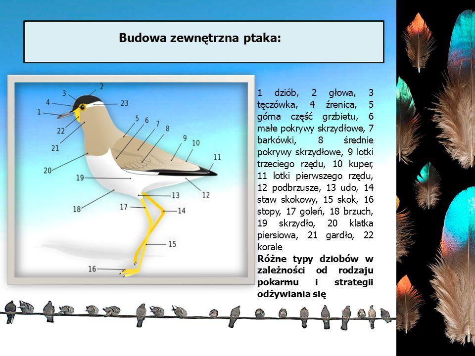Budowa zewnętrzna ptaka: