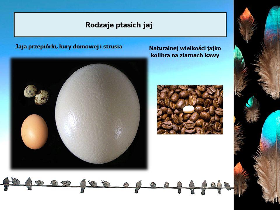 Naturalnej wielkości jajko kolibra na ziarnach kawy