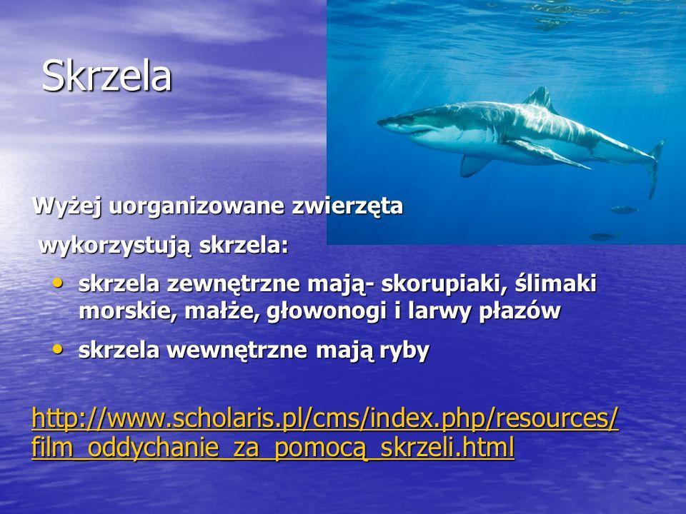 Skrzela Wyżej uorganizowane zwierzęta. wykorzystują skrzela: skrzela zewnętrzne mają- skorupiaki, ślimaki morskie, małże, głowonogi i larwy płazów.