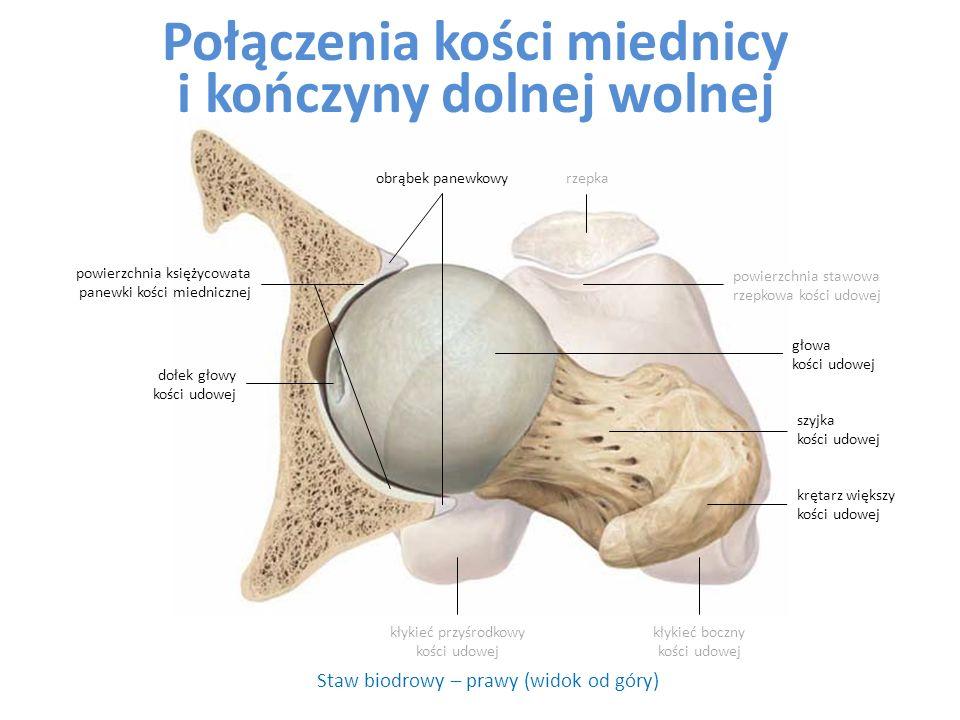 Połączenia kości miednicy i kończyny dolnej wolnej