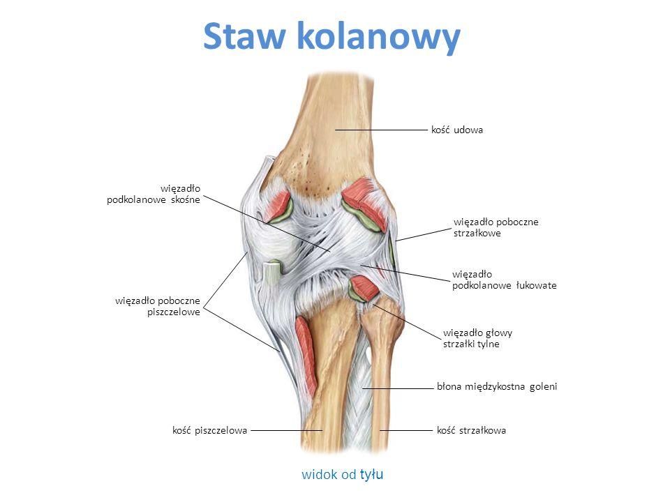 Staw kolanowy widok od tyłu kość udowa więzadło podkolanowe skośne