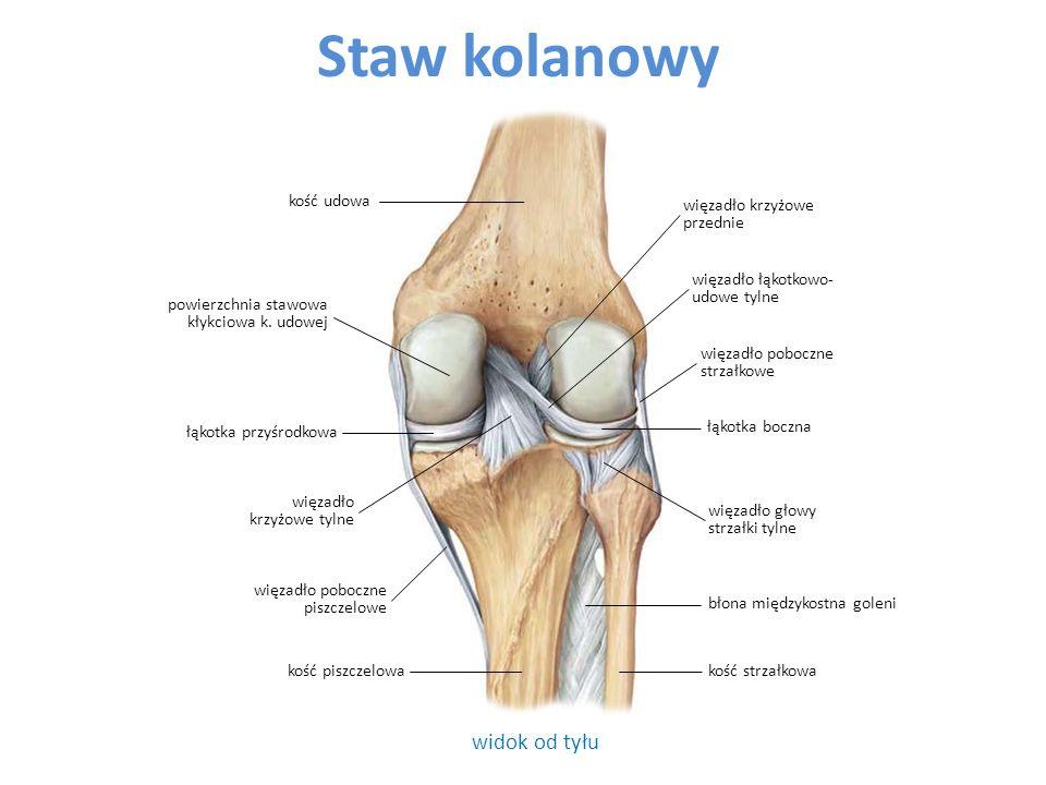 Staw kolanowy widok od tyłu kość udowa więzadło krzyżowe przednie