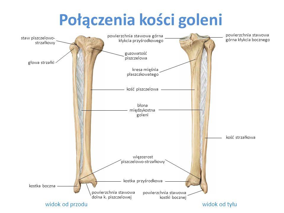 Połączenia kości goleni