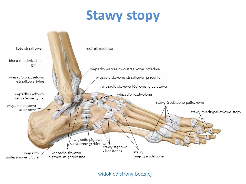 Stawy stopy widok od strony bocznej kość strzałkowa kość piszczelowa