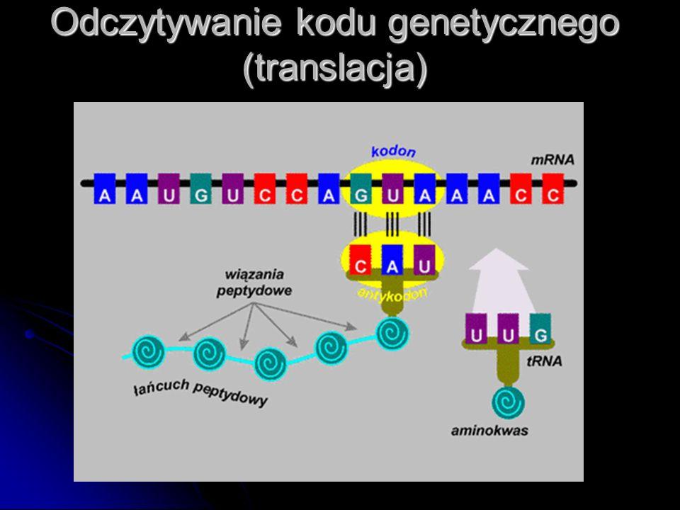 Odczytywanie kodu genetycznego (translacja)