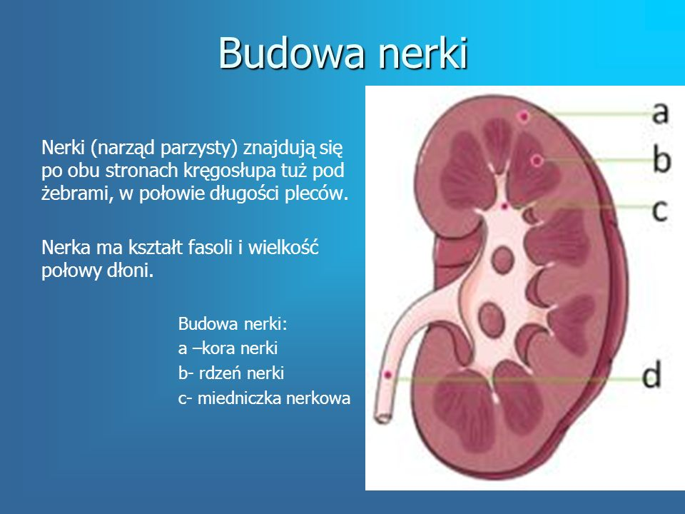 Budowa nerki Nerki (narząd parzysty) znajdują się po obu stronach kręgosłupa tuż pod żebrami, w połowie długości pleców.
