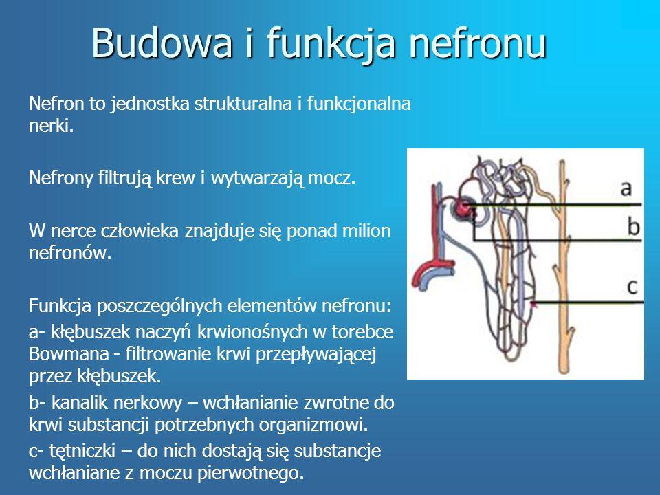 Budowa i funkcja nefronu