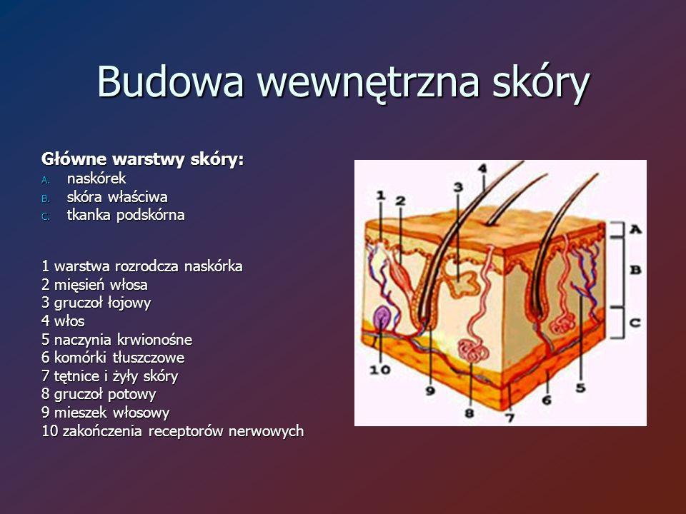 Budowa wewnętrzna skóry