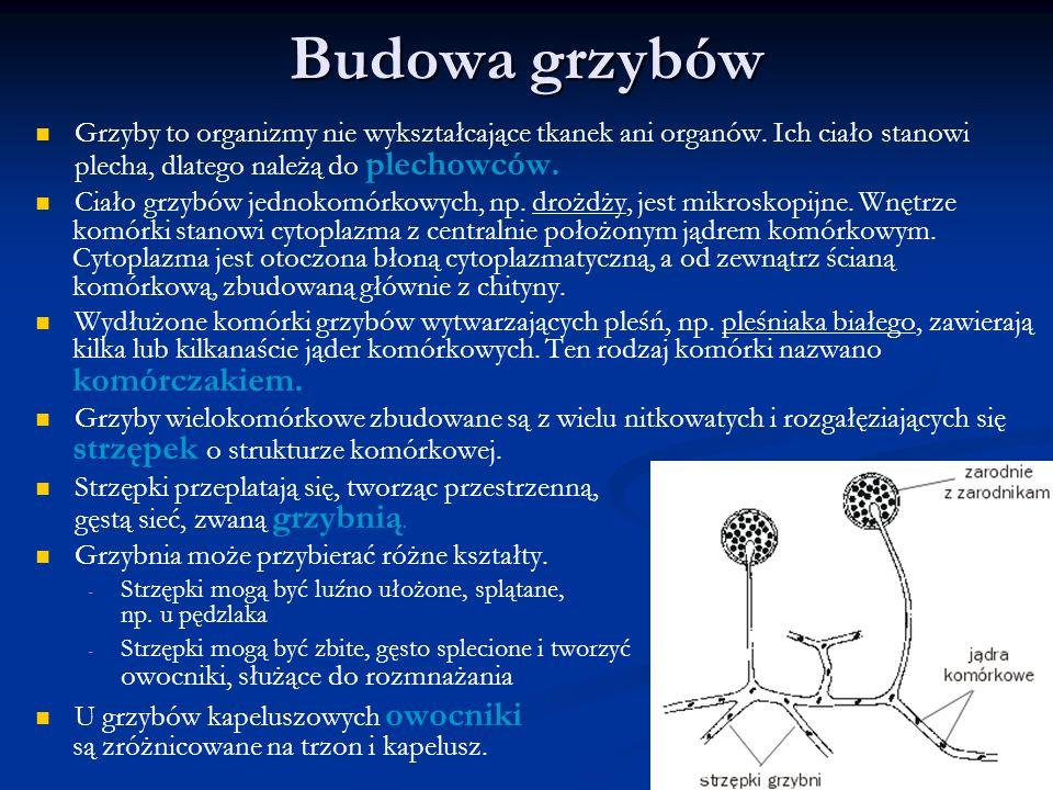 Budowa grzybów Grzyby to organizmy nie wykształcające tkanek ani organów. Ich ciało stanowi plecha, dlatego należą do plechowców.
