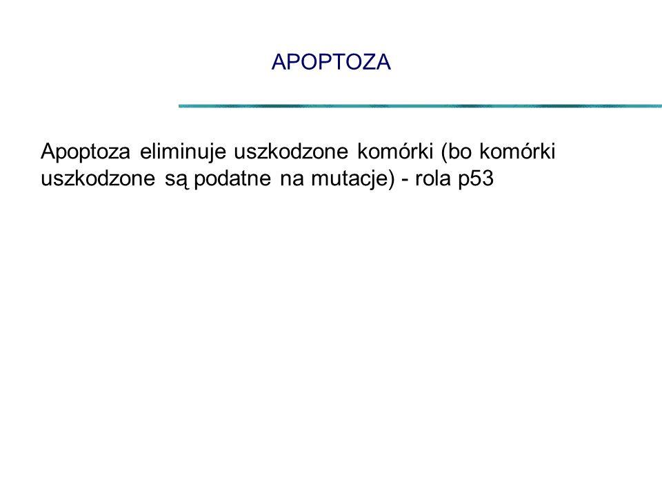 APOPTOZA Apoptoza eliminuje uszkodzone komórki (bo komórki uszkodzone są podatne na mutacje) - rola p53.