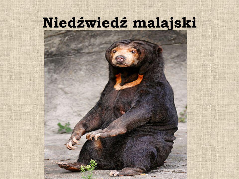 Niedźwiedź malajski