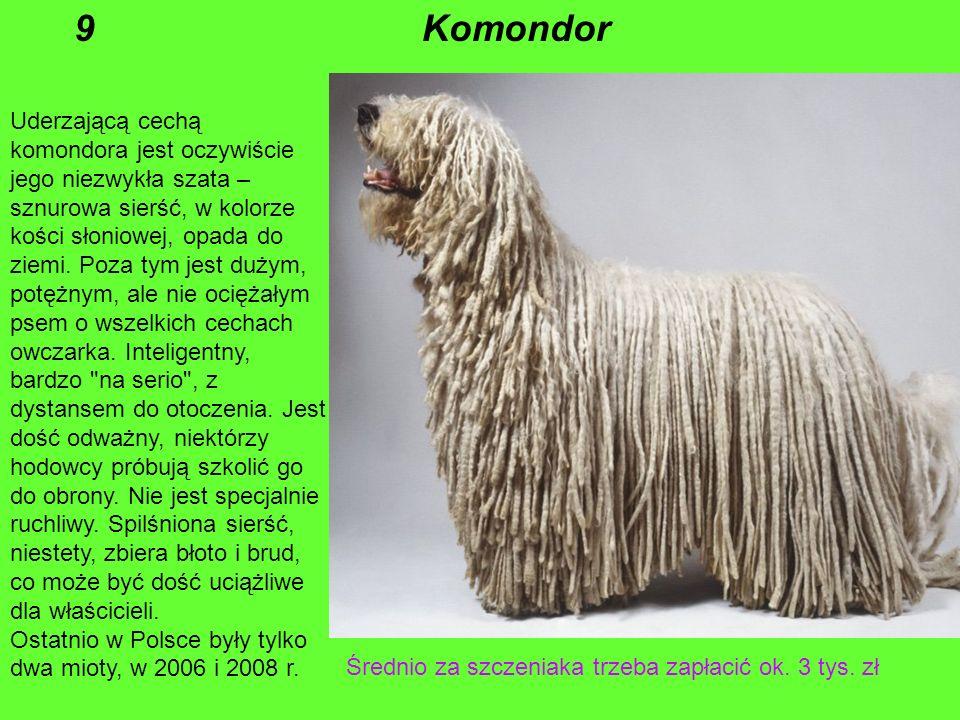 9 Komondor.