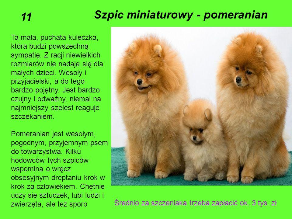 Szpic miniaturowy - pomeranian 11