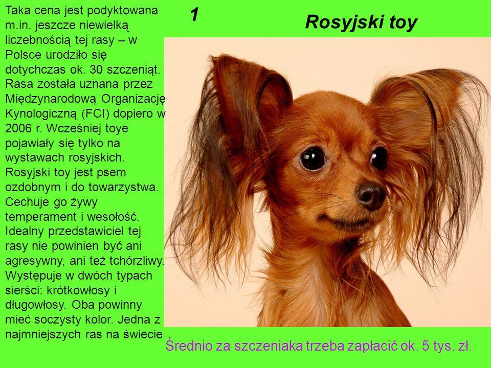 1 Rosyjski toy Średnio za szczeniaka trzeba zapłacić ok. 5 tys. zł.