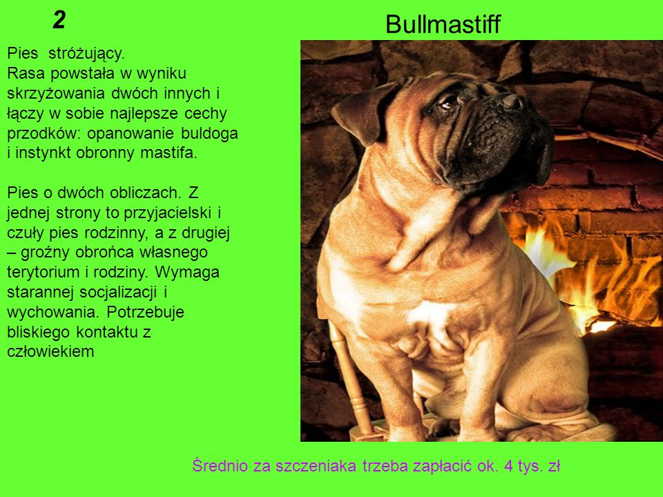 2 Bullmastiff Pies stróżujący.