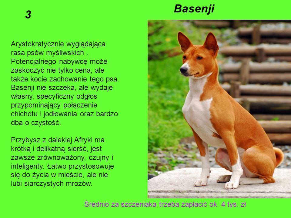 Basenji 3 Arystokratycznie wyglądająca rasa psów myśliwskich .