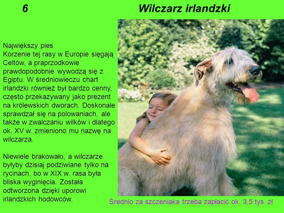 6 Wilczarz irlandzki Największy pies