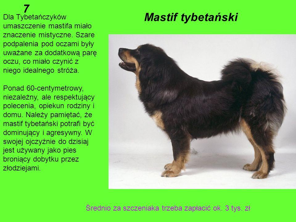 7 Mastif tybetański.