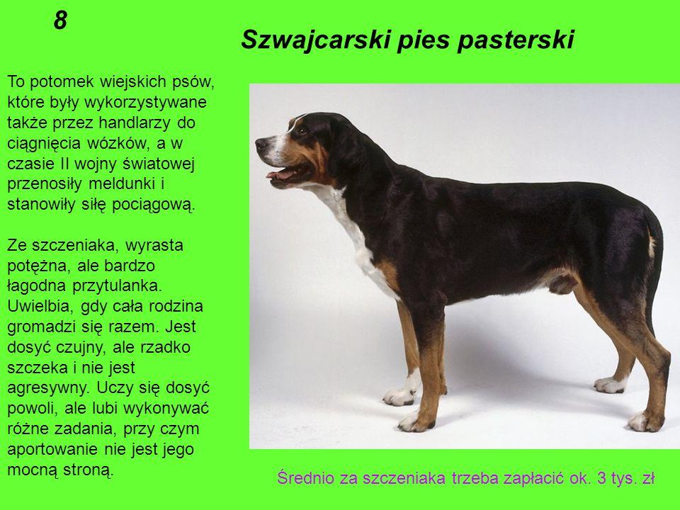 Szwajcarski pies pasterski