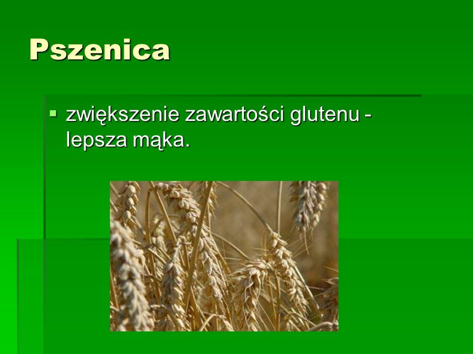 Pszenica zwiększenie zawartości glutenu - lepsza mąka.