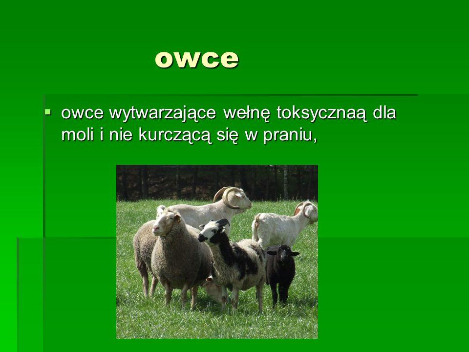 owce owce wytwarzające wełnę toksycznaą dla moli i nie kurczącą się w praniu,