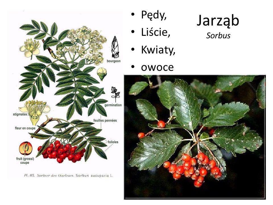 Pędy, Liście, Kwiaty, owoce Jarząb Sorbus