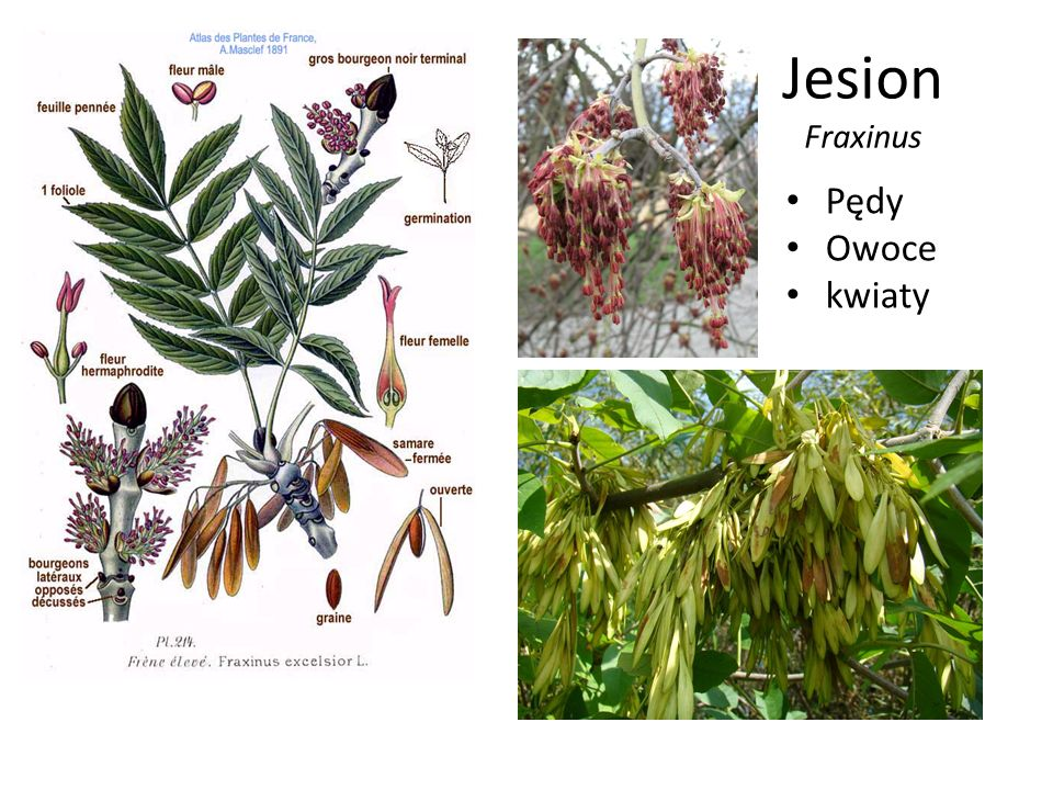 Jesion Fraxinus Pędy Owoce kwiaty