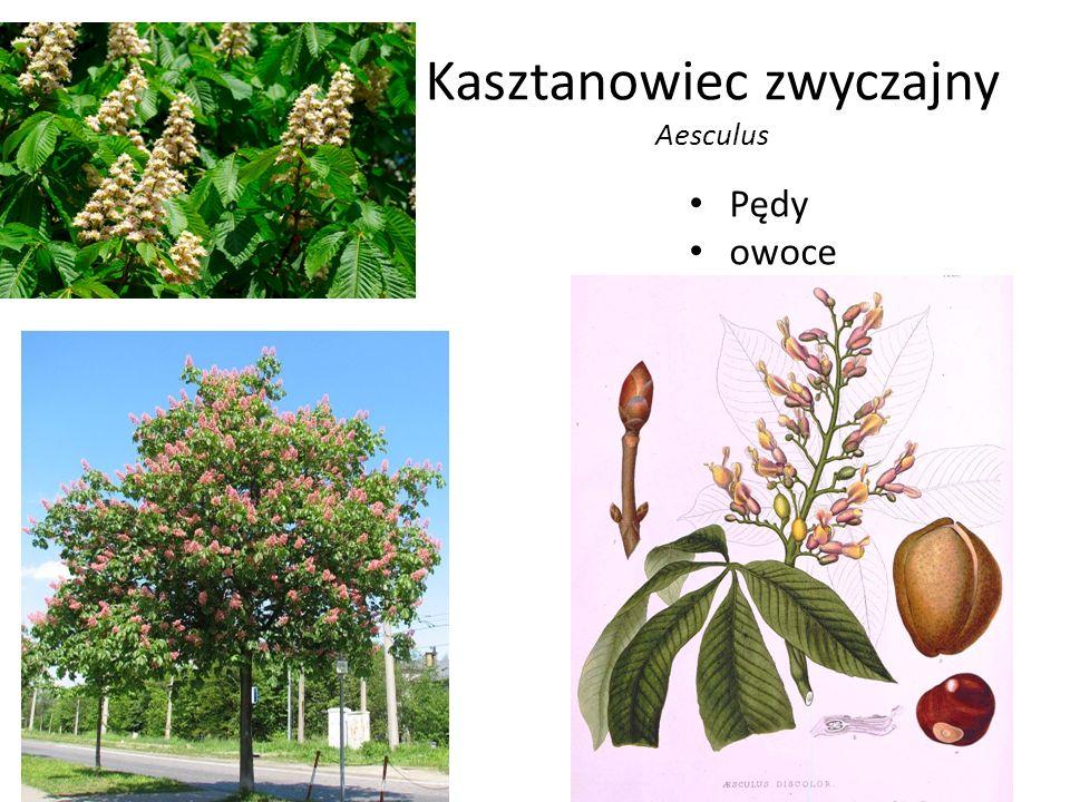 Kasztanowiec zwyczajny Aesculus